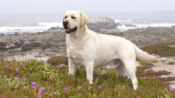 In the United States called the most popular breed of dog in the country