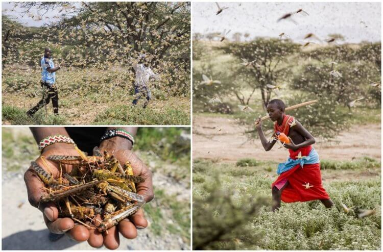 African people fight locusts in every way possible