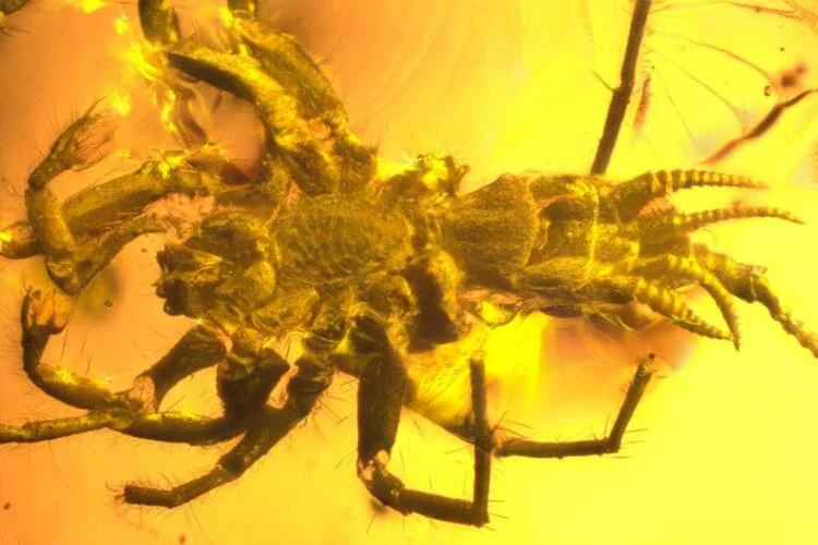 Ancient amber insect