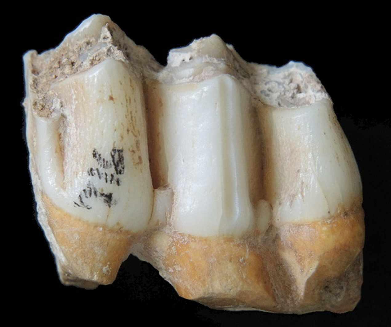 A new method of analysis of teeth allowed to determine the diet of fossil mammals