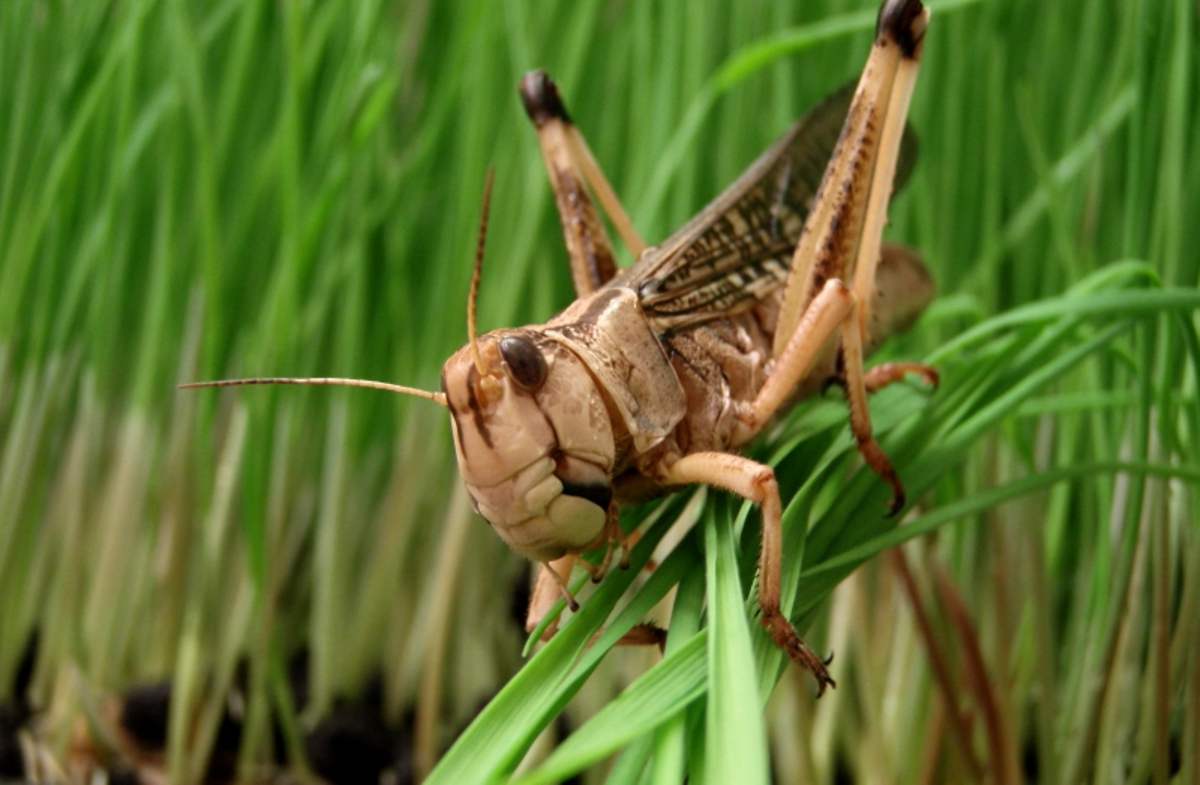 Maestro's new app tells farmers about locust swarm approaching