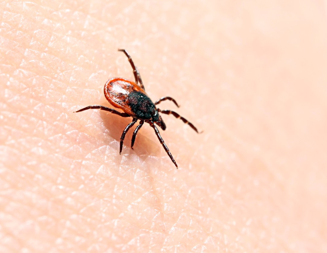 Previously approved antibiotic helped kill Lyme disease-resistant bacteria