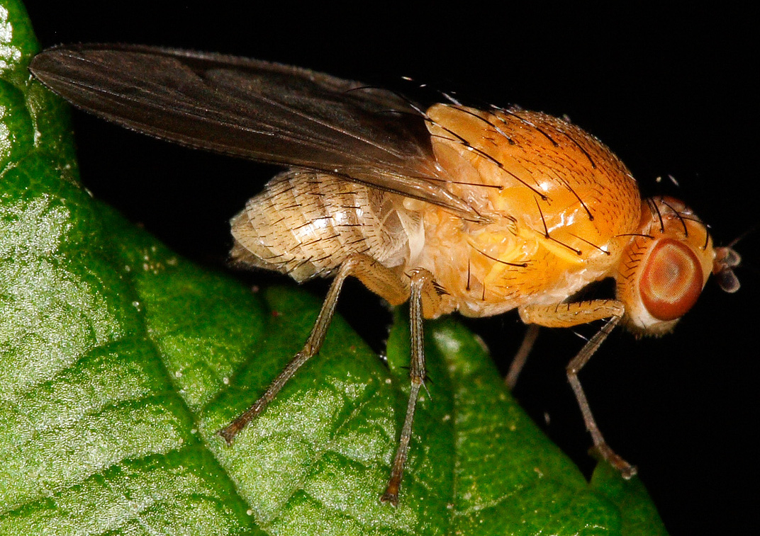 Scientists have erased the memory of the Drosophila fly