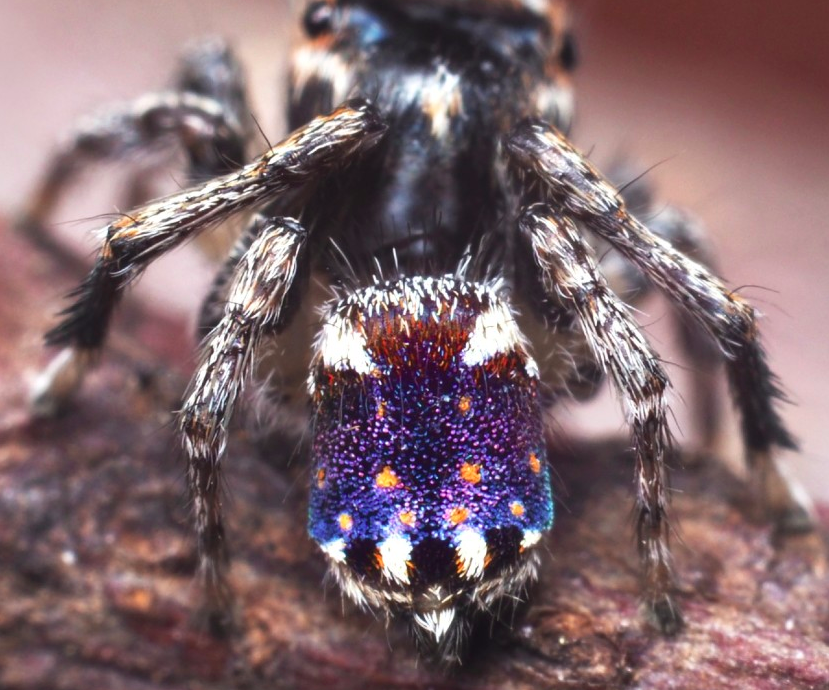 American enthusiast discovered 7 new peacock spiders
