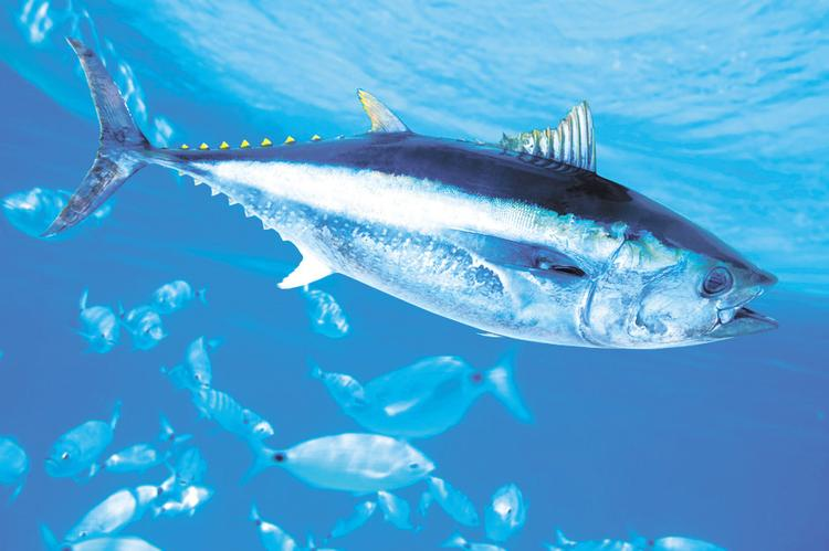 Microplastic damages the gills of fish and increases the amount of caviar