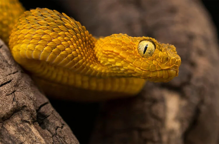 How and why do snakes produce poison?