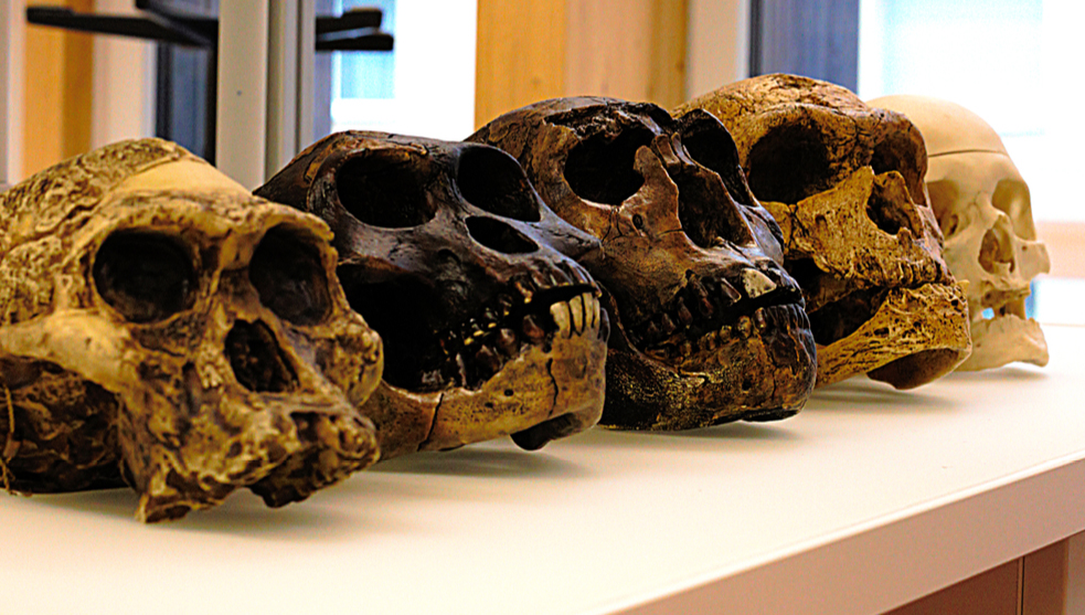 The brain of Australopithecus developed as a human. But it looked like a monkey!