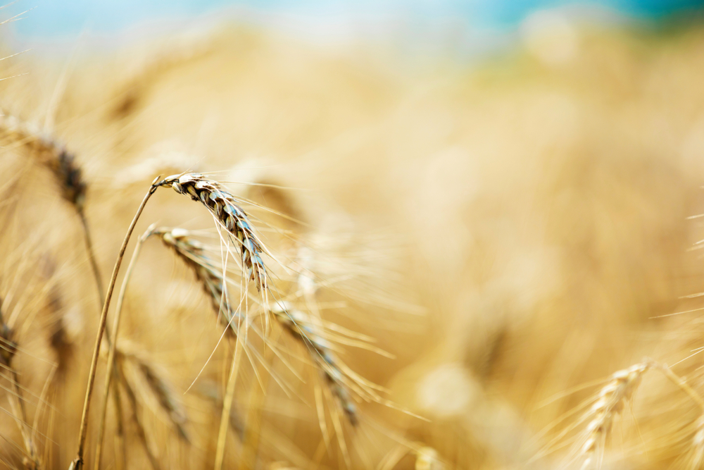 66% of the world's population cannot support themselves with cereals