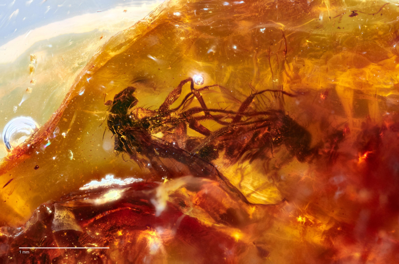 Scientists have found two mating flies that froze in amber 40 million years ago