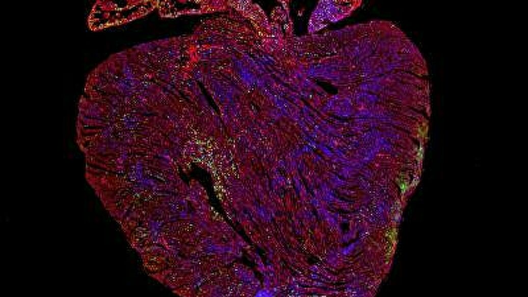 Biologists have found a gene responsible for heart regeneration