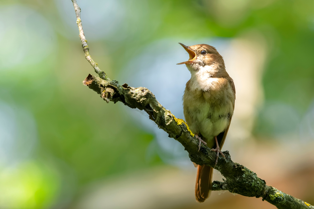 Due to global warming, nightingales will have shorter wings. And they can die out!