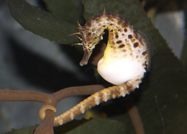 Male seahorses suppressed immunity for pregnancy