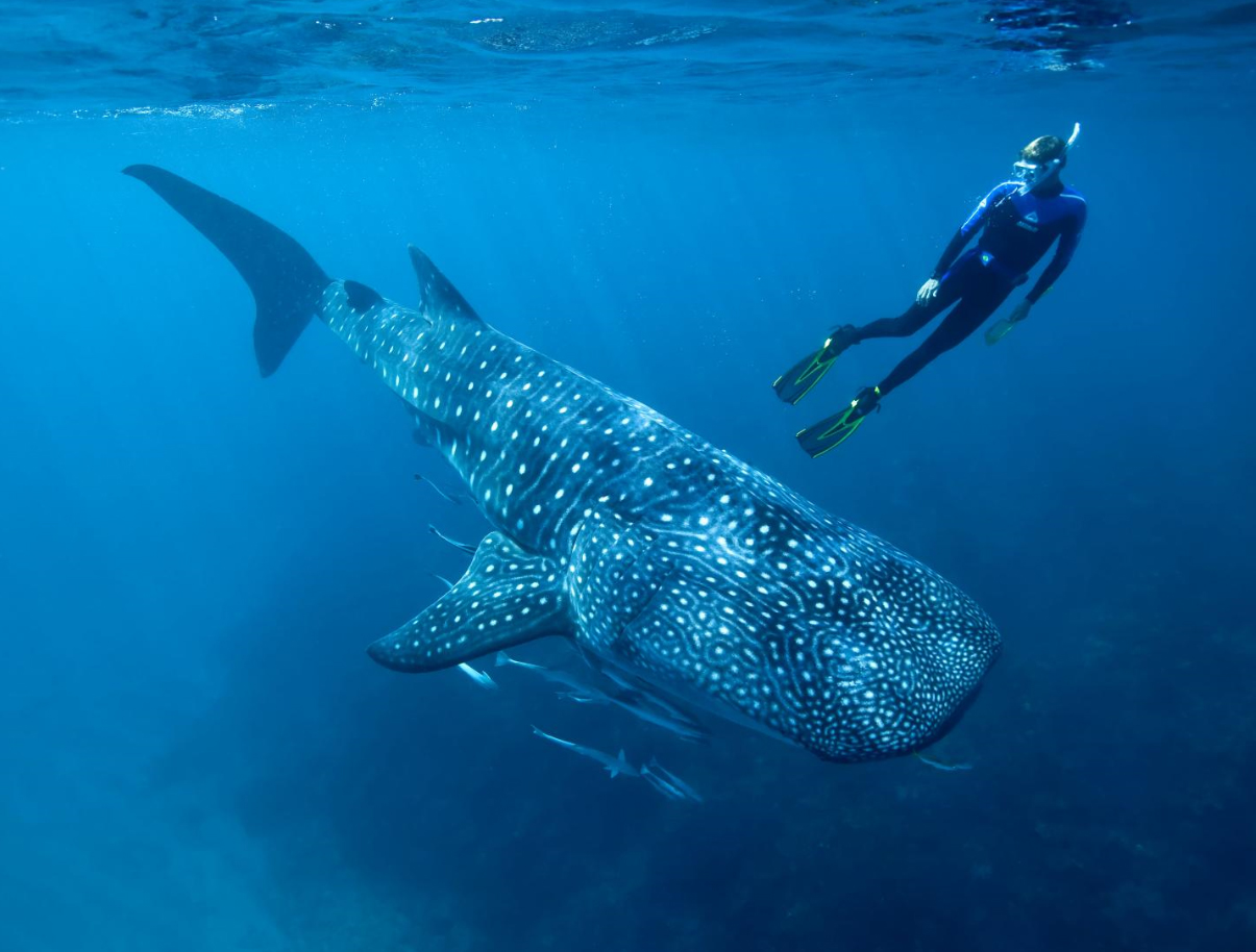 Cold war atomic bomb tests help determine whale shark age